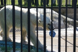"Polar bear ""Commandor Sedov"""